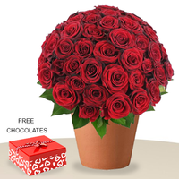 60 Red Roses In A Pot, FREE Chocolates