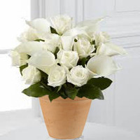 12 White Roses And Calla Lily Pot