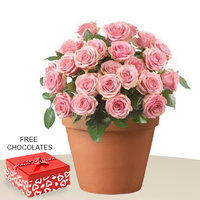 24 Pink Roses In A Pot With Free Chocolates