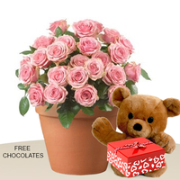 24 Pink Roses In A Pot With Teddy And FREE chocolates