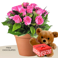 12 Pink Roses In A Pot With Teddy And Free Chocolates