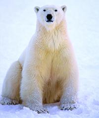 polar-bears-to-protect.jpg