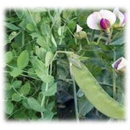 Austrian Winter Pea