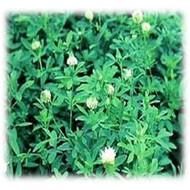 Frosty Berseem Clover Seeds