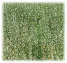 Buck Forage Oats - Annual