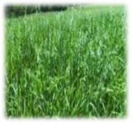 Everleaf Oats Seeds - Annual