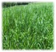 Everleaf Oats Seeds - Annual