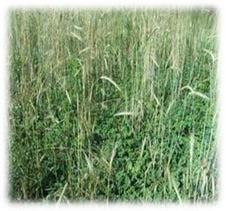 Winter Grain Rye Seeds
