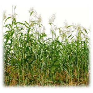 Egyptian Wheat Seeds - Annual