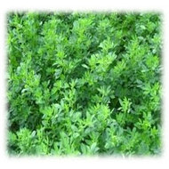 GA 378 Wetland Alfalfa - Perennial (Coated & Pre-Inoculated)