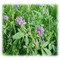GA 535 All Soil Alfalfa - Perennial