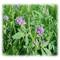 GA 535 All Soil Alfalfa - Perennial
