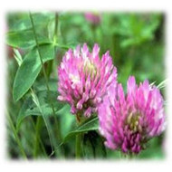 Gallant Red Clover - Perennial
