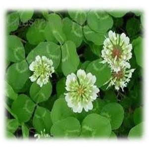 Perennial Jumbo Ladino Clover Seeds