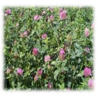Mammoth Clover - Annual (Untreated)