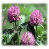Medium Red Clover - Perennial (Coated & Pre-Inoculated)