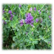 Merit Gold Alfalfa - Perennial (Coated & Pre-Inoculated)