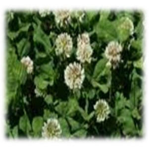 Platinum Ladino Clover Perennial | Wildlife Food Plot Seeds