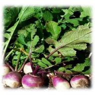 Purple Top Turnip annual