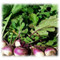 Purple Top Turnip annual