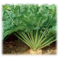 Sugar Beets Seeds - Coated, Annual