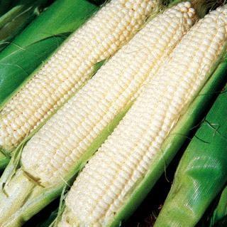 Silver Queen Sweet Corn