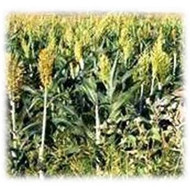 Wilder Grain Sorghum - Annual, Treated