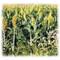 Wilder Grain Sorghum - Annual, Treated