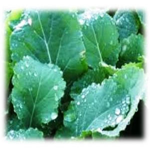 Winfred Forage Brassica Seeds Annual