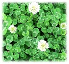 Perennial Dutch White Clover Seeds | Merit Seed in Ohio