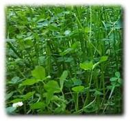 Annual Fixation Balansa Clover Seeds | Merit Seed in Ohio