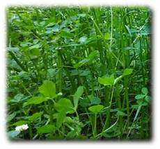 Annual Fixation Balansa Clover Seeds
