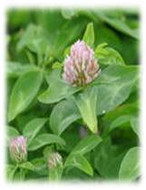 Perennial Freedom Red Clover Seeds | Merit Seed in Ohio