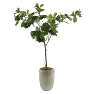 John Richard Fiddle-Leaf Fig B