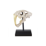 Phillips Collection Saber Tooth Tiger Skull, Roman Stone