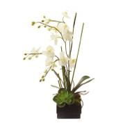 John Richard Phalaenopsis Orchid (Store)