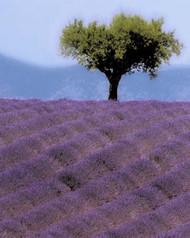 Art Classics Lavender Hill