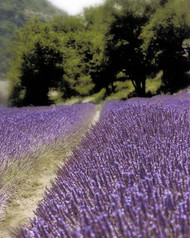Art Classics Lavender Path