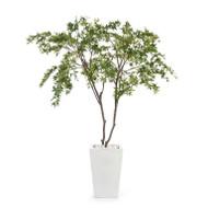 White Maples
