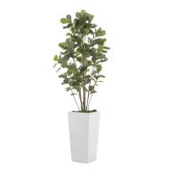 Grey-White Fig