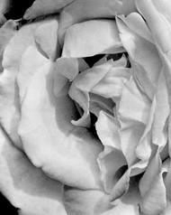 Art Classics Rose