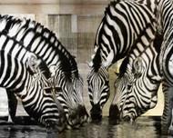 Art Classics Zebra