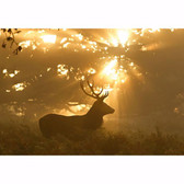 WG5162-4V-1 - Sunset Stag Non Woven Wall Mural