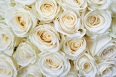 MS-5-0137 - White Roses Wall Mural