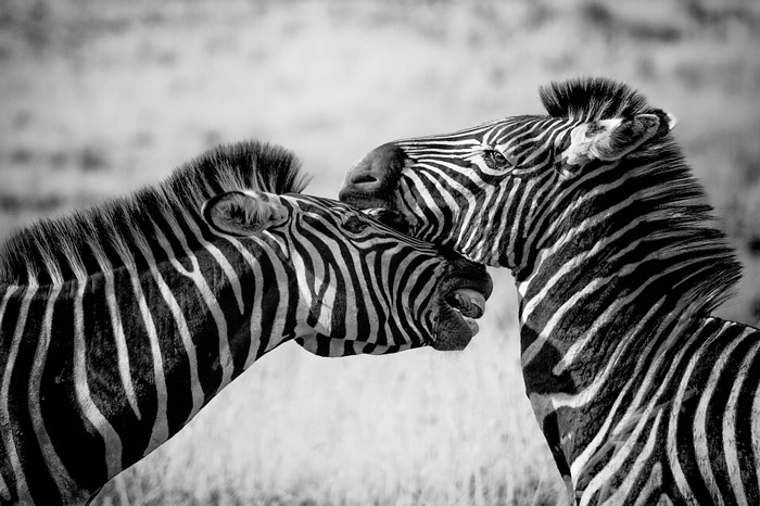 black and white photograph of zebras