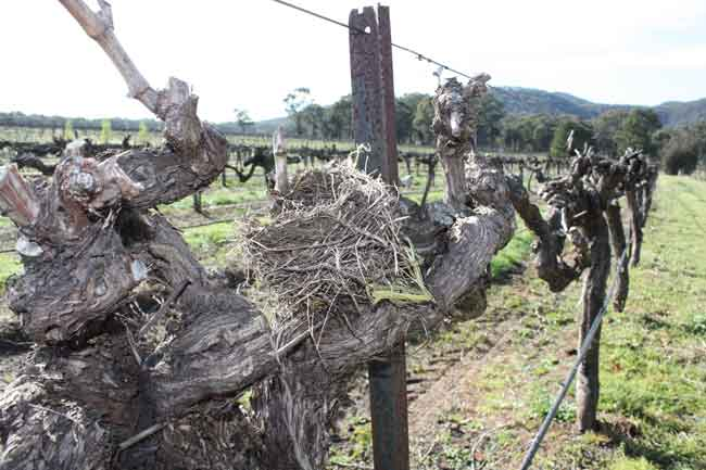 Birds nesting in vines