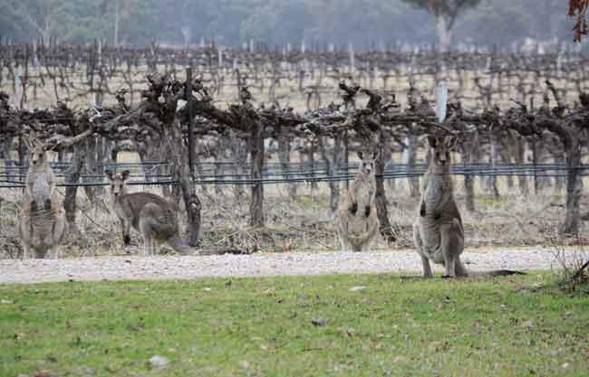 Roos in the vineyard