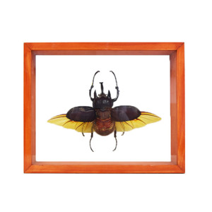 Five-Horned Rhino Beetle
