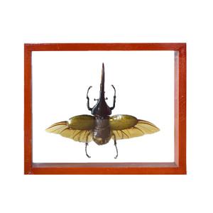 Hercules Dynastes Beetle