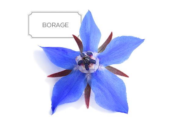 borage-a.jpg